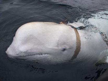 Pescadores do país escandinavo avistaram na semana passada no Ártico um cetáceo com uma armação preparada para levar uma câmera