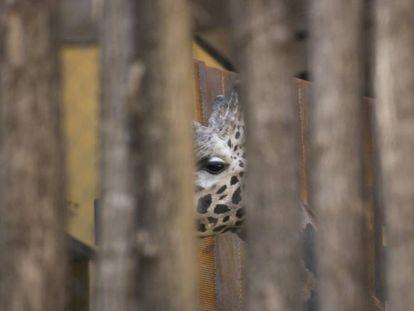 Uma girafa do zoológico de Barcelona.