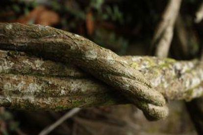 Cipó com o qual se prepara o chá de ayahuasca.