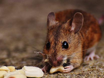 O estudo mais recente compara um grupo de roedores que comiam o que queriam com outro que ingeria 30% menos calorias.