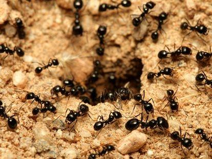As formigas da espécie 'Lasius niger' se afastam do ninho para morrer quando são infectadas por um fungo.