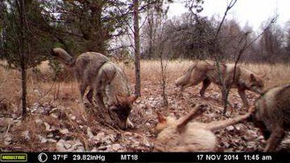 Lobos captados pelas câmeras-armadilha na Zona de Exclusão de Chernobyl