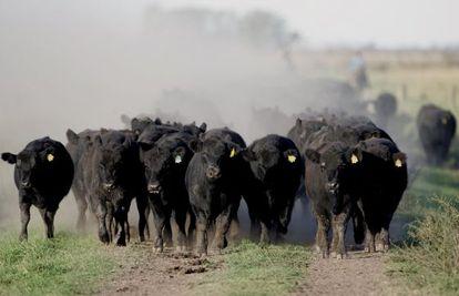 Um grupo de bezerros em uma fazenda localizada a cerca de 100 quilômetros de Buenos Aires, na Argentina.