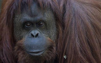O olhar da orangotango impressiona; o cativeiro a deprime: se não a estimulam, permanece inativa metade do dia.