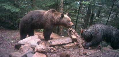 O urso 'Pyros' (esquerda) e a ursa 'Hvala'.