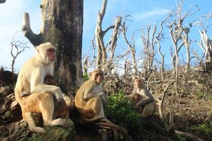 Um grupo de macacos na ilha Cayo Santiago depois da passagem do furacão Maria.