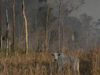 Gado ao lado de área incendiada em Novo Progresso, no Pará.