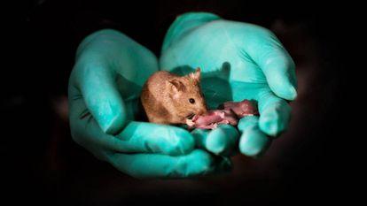 Rato nascido de duas mães adultas, com seus próprios filhotes.