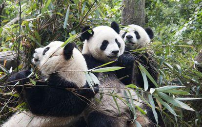 Embora a dieta do panda se baseie em 99% no bambu, seu aparelho digestivo continua sendo o de um carnívoro.