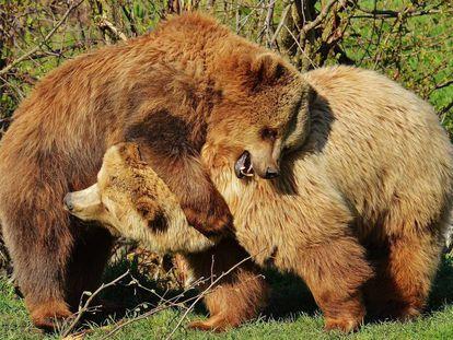 Dois ursos pardos brincam