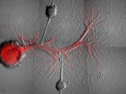 Dois neurônios sensoriais de um Dragão Azul ligados a um neurônio motor.