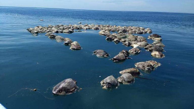 Tartarugas mortas flutuam no mar em Porto Escondido, Oaxaca (México), em 28 de agosto