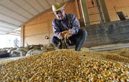 Um fazendeiro no Paraguai examina milho transgênico.