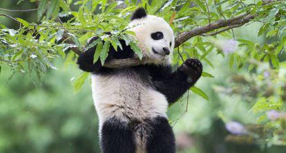 Urso panda no zoo de Washington.