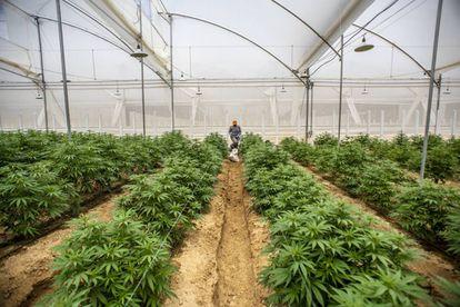 Plantas de cannabis em uma estufa em Pesca, Colômbia.