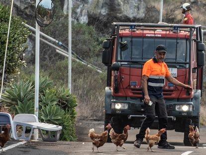 Voluntário dispersando galinhas pelo avanço da lava em Todoque, La Palma.