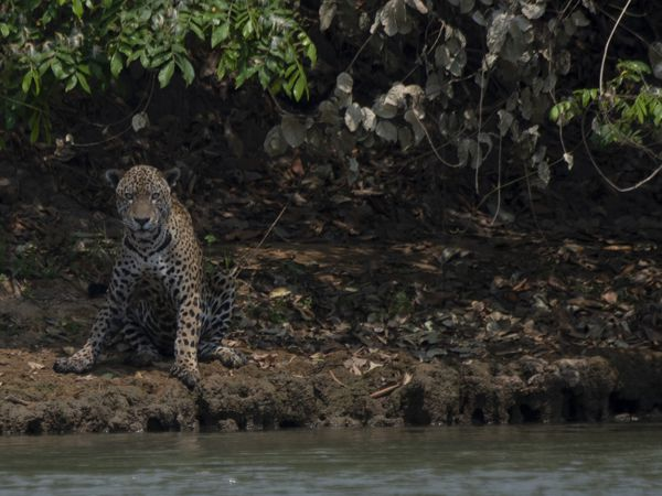 An injured adult male jaguar sits on the bank of a river at the Encontros das Aguas Park, in the Porto Jofre region of the Pantanal, near the Transpantaneira park road which crosses the world's largest tropical wetland, in Mato Grosso State, Brazil, on September 15, 2020. - The Pantanal, a region famous for its wildlife, is suffering its worst fires in more than 47 years, destroying vast areas of vegetation and causing death of animals caught in the fire or smoke. (Photo by Mauro Pimentel / AFP)