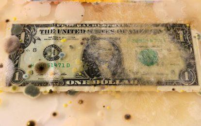 Um dólar americano invadido por micélio e fungos em uma caixa enriquecida com ágar.