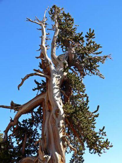 Pinus longaeva em Spring Mountains, Nevada, EUA.