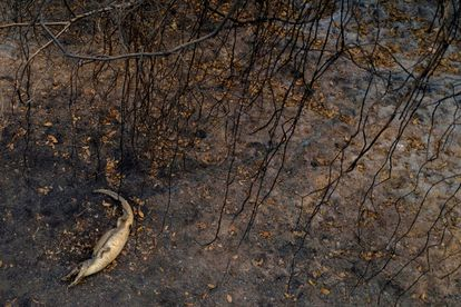 Um jacaré morto por causa de incêndio próximo à rodovia Transpantaneira.