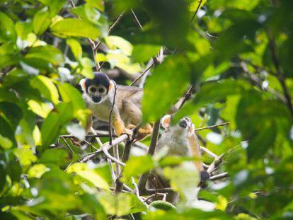 Macaco-de-cheiro na Reserva Mamirauá