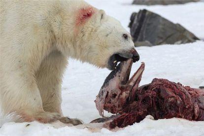 Urso polar se alimenta dos restos de um golfinho-de-bico-branco em julho de 2014.