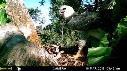 Harpia adulta chega ao ninho sem presa para alimentar seu filhote.