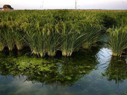Cultivo de arroz em Sevilha, na Espanha.