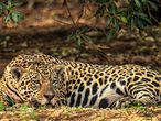 AME5492. PORTO JOFRE (BRASIL), 17/09/2020.- Un jaguar descansa hoy, en el Pantanal, localidad de Porto Jofre, localizado en el municipio de Poconé, estado de Mato Grosso (Brasil). Los estragos causados por los incendios en el Pantanal, donde las llamas ya devastaron el 22 % del gigantesco humedal en Brasil, han puesto de nuevo en la mira al acuerdo comercial entre la Unión Europea y el Mercosur, que tambalea por las políticas ambientales del Gobierno de Jair Bolsonaro. EFE/ Carlos Ezequiel Vannoni