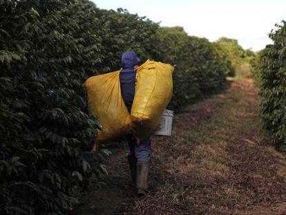Trabalhador na época da colheita do café.