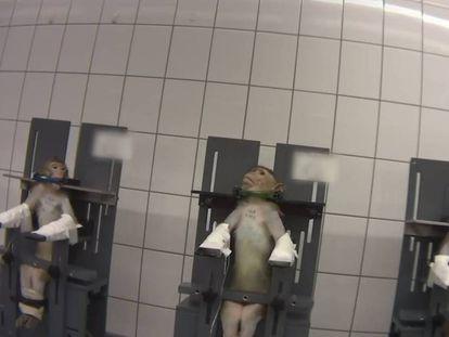 Macacos presos pelo pescoço, em cena de vídeo gravado pelo ativista infiltrado.