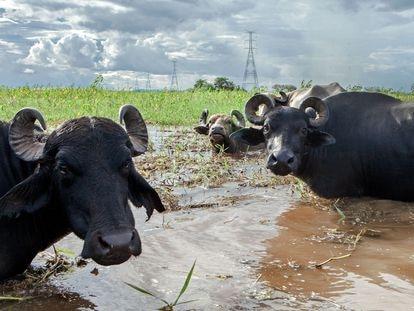 Búfalos criados em área alagada do rio Uiui (um furo do rio Amazonas), dentro da Reserva Extrativista Verde Para Sempre, no Pará.