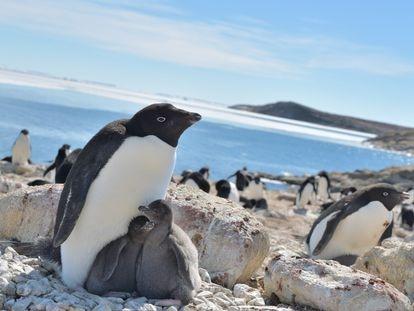 Dois filhotes de pinguins-de-adélia junto à sua mãe na baía de Lutzow-Holm (Antártida), durante a época mais quente do ano, entre dezembro e janeiro.