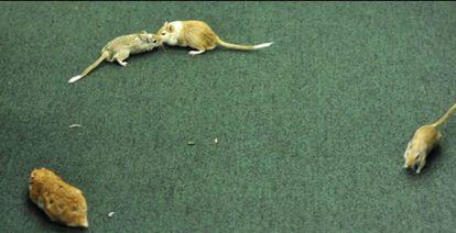 Os roedores que passearam pelo plenário da Câmara durante sessão da CPI da Petrobras em 2015.
