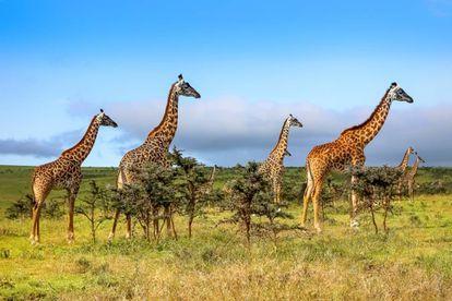 A melhor época para visitar Masai Mara (Quênia) é em outubro, depois das chuvas.