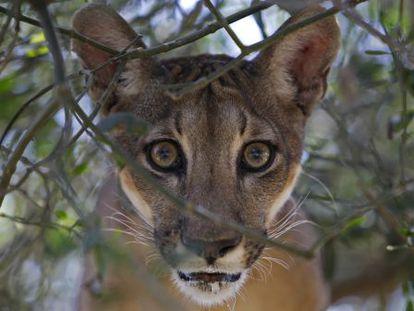 O puma é um dos tesouros da América Central.
