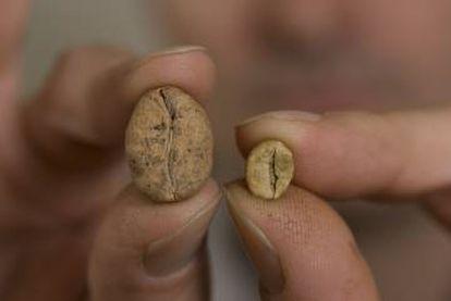 À direita, grão de café arabica, à esquerda um de café ambongo, de Madagascar e em perigo de extinção.