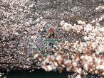 Existen aplicaciones que indican en qué momento y lugar han salido los primeros pétalos. En la imagen, una mujer fotografía los cerezos en flor, este martes en Tokio (Japón).
