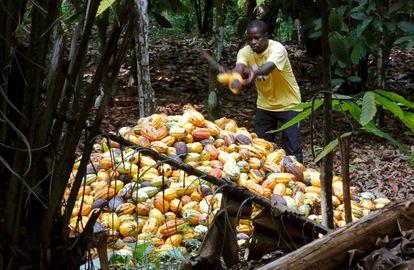 Colheita de frutos de cacau em Toumodi (Costa do Marfim).