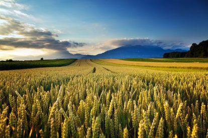 Campos de trigo no interior dos Estados Unidos.