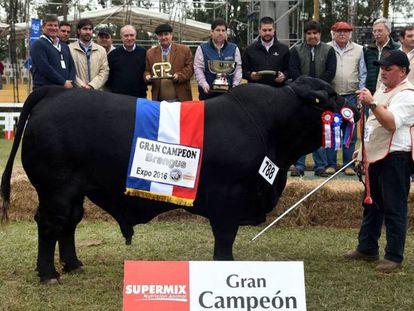 'El Chema', animal da raça brangus que venceu a Feira internacional de Gado do Paraguai.