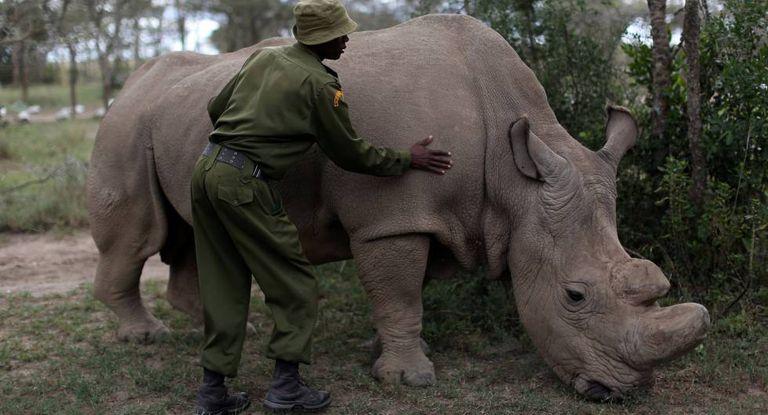 Um dos últimos três rinocerontes brancos do norte ainda vivos.