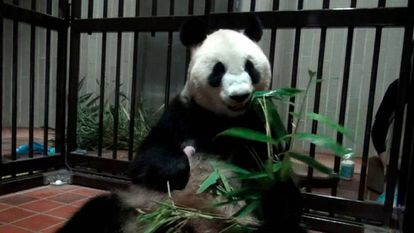 A panda gigante Shin Shin, com o bebê no colo.