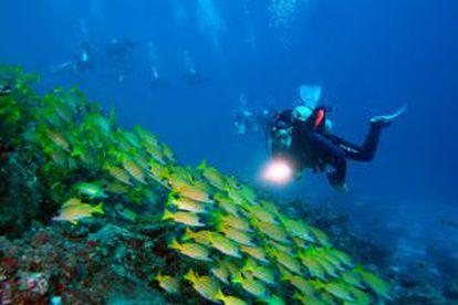Um cardume de pargos de listras azuis nas ilhas Maldivas.