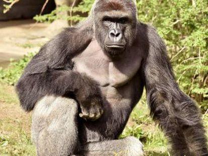 """Para o primatologista Frans de Waal, o gorila sacrificado em Cincinnati, nos EUA, depois de um menino cair no seu fosso mantinha uma atitude """"acima de tudo protetora"""""""
