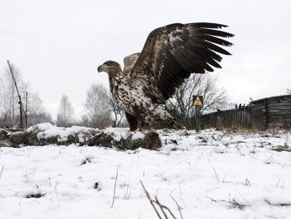 Uma águia de cauda branca junto ao cadáver de um lobo no povoado abandonado de Dronki (Belarus).
