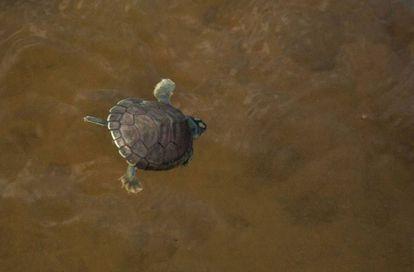 Depois de vencer mais de uma centena de metros de areia e de perigos, a bebê tartaruga mergulha no rio e no futuro