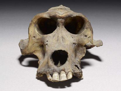 Um dos crânios de babuíno de 3.300 anos de idade que ajudaram a determinar a localização do Reino de Punte