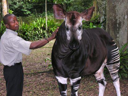Um okapi na República Democrática do Congo.