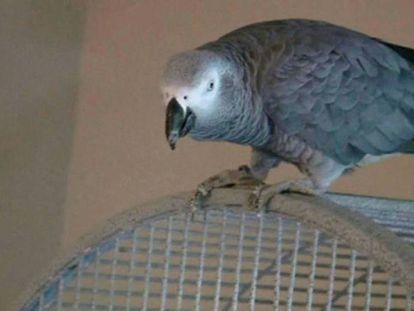 O papagaio Bud presenció uma morte violenta.